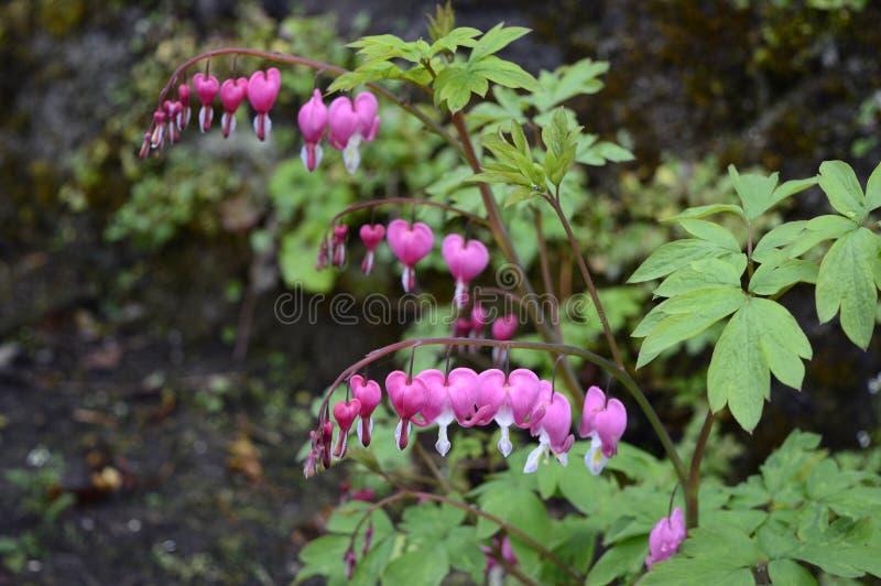 Άσπρα και ρόδινα λουλούδια - αιμορραγώντας καρδιές στοκ φωτογραφία με δικαίωμα ελεύθερης χρήσης