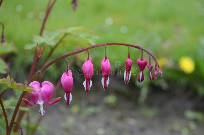 Άσπρα και ρόδινα λουλούδια - αιμορραγώντας καρδιές στοκ εικόνα με δικαίωμα ελεύθερης χρήσης