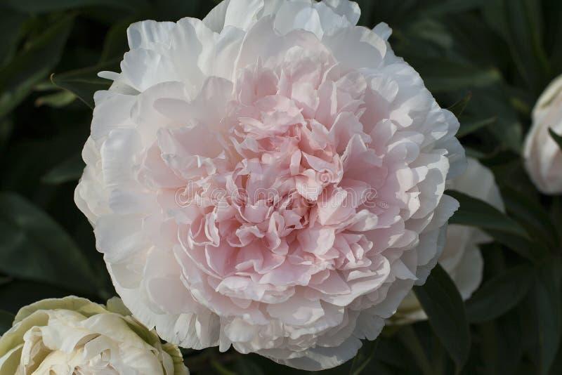 Άσπρα και ρόδινα όμορφα άνθη του peony λουλουδιού με τα πράσινα φύλλα closeup ανασκόπηση μαλακή στοκ φωτογραφίες