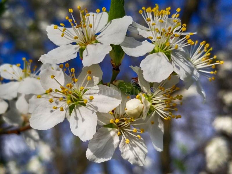 Άσπρα λουλούδια ανθών της Apple και υπόβαθρο άνοιξη μπλε ουρανού στοκ εικόνα με δικαίωμα ελεύθερης χρήσης