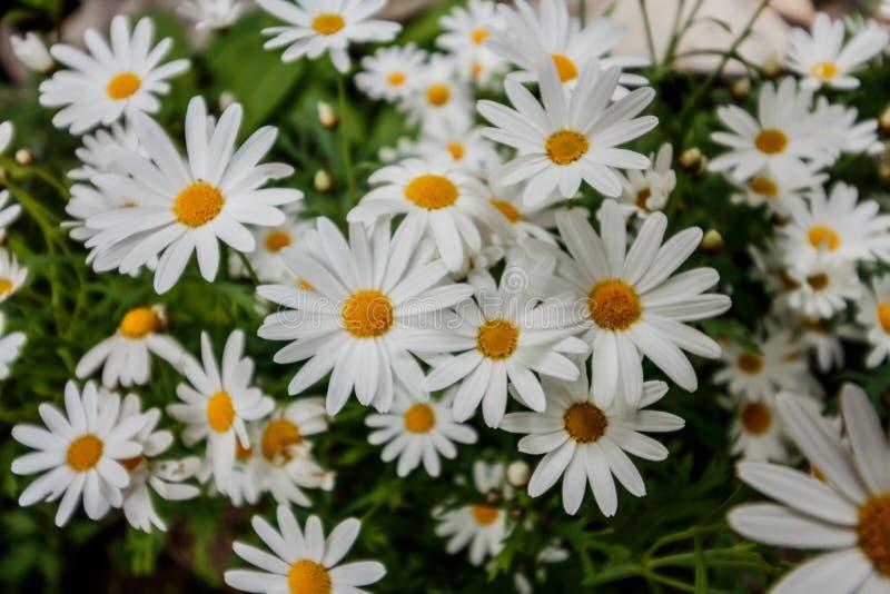 Άσπρα λουλούδια κοπτών στο φως του ήλιου πρωινού στοκ φωτογραφίες