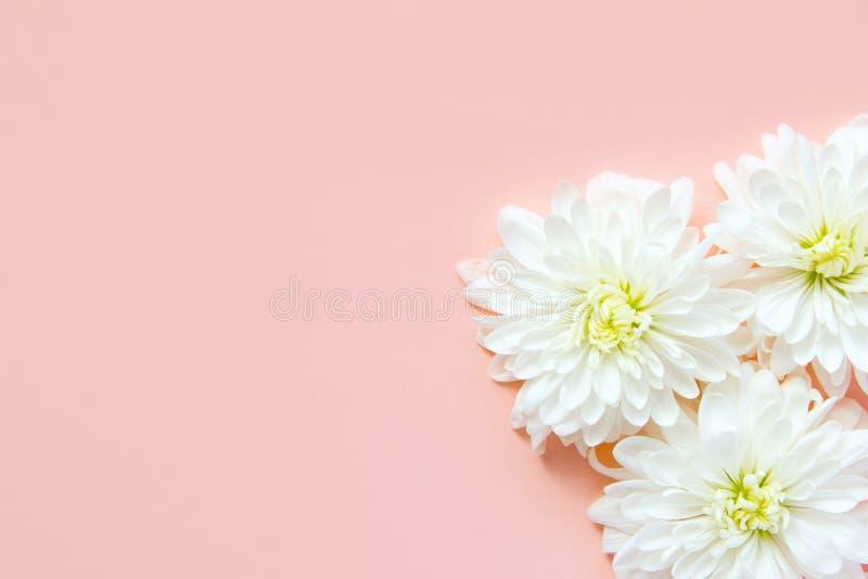 Άσπρα λουλούδια μαργαριτών χρυσάνθεμων στο ανοικτό ροζ υπόβαθρο Ρομαντική έννοια γαμήλιας δέσμευσης Ημέρα μητέρων βαλεντίνων γενε στοκ φωτογραφία με δικαίωμα ελεύθερης χρήσης