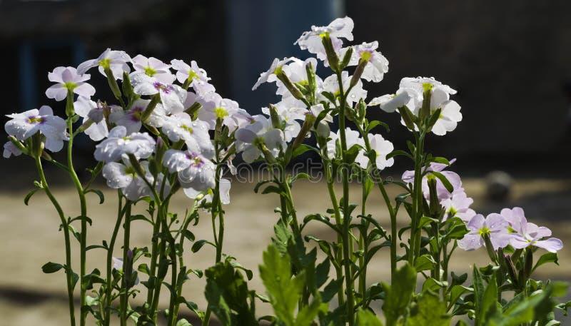 Άσπρα λουλούδια με τις πτώσεις νερού στοκ εικόνες
