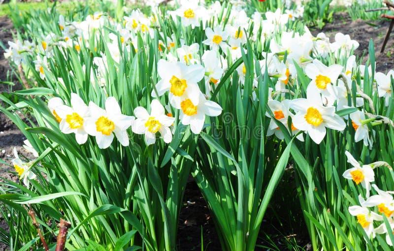 Άσπρα λουλούδια ναρκίσσων άνοιξη Λουλούδι ναρκίσσων που είναι γνωστό επίσης ως daffodil, daffadowndilly, νάρκισσοι στοκ φωτογραφία