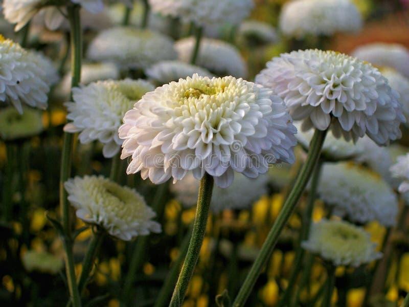 Άσπρα λουλούδια σε ένα φεστιβάλ λουλουδιών στοκ εικόνα