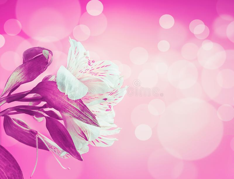Άσπρα λουλούδια στο πορφυρό ρόδινο υπόβαθρο νέου με το φωτισμό bokeh Δημιουργικό floral σχεδιάγραμμα με το διάστημα αντιγράφων γι στοκ εικόνα