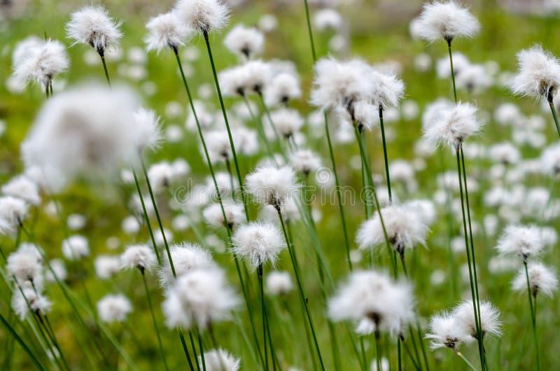 Άσπρα λουλούδια στο πράσινο υπόβαθρο χλόης στοκ φωτογραφία