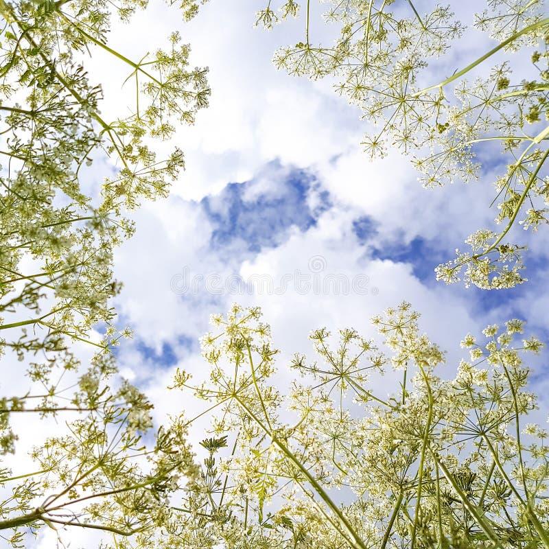 Άσπρα λουλούδια στο υπόβαθρο μπλε ουρανού και τα σύννεφα, τετράγωνο στοκ εικόνες