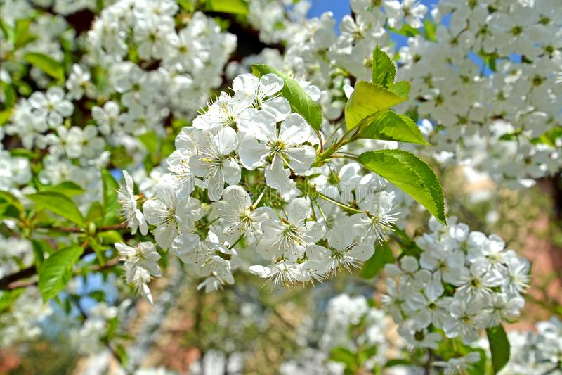 Άσπρα λουλούδια του subgen Prunus κερασιών Cerasus Άνοιξη στοκ εικόνα