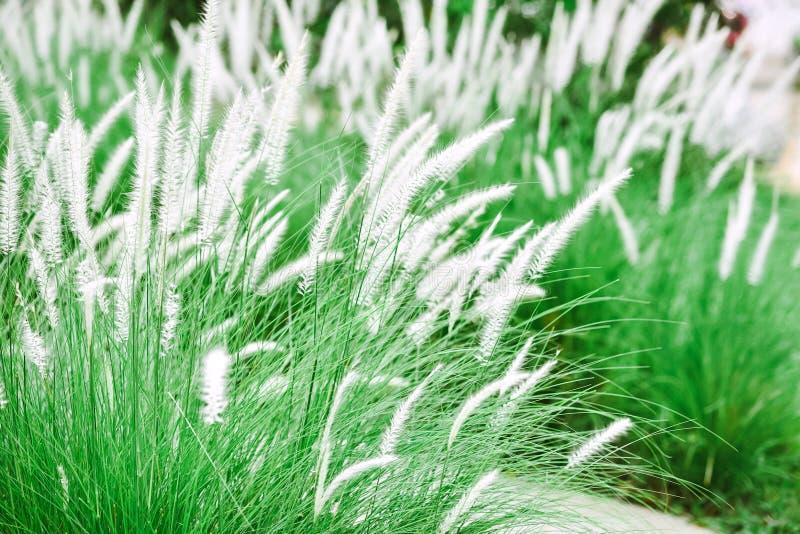 Άσπρα λουλούδια χλόης στους πράσινους τομείς χλόης στοκ φωτογραφίες