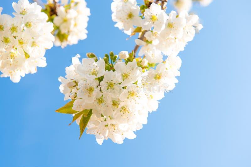 Άσπρα λουλούδια appletree με την κίτρινη δύναμη και κίτρινα sepals στοκ φωτογραφία