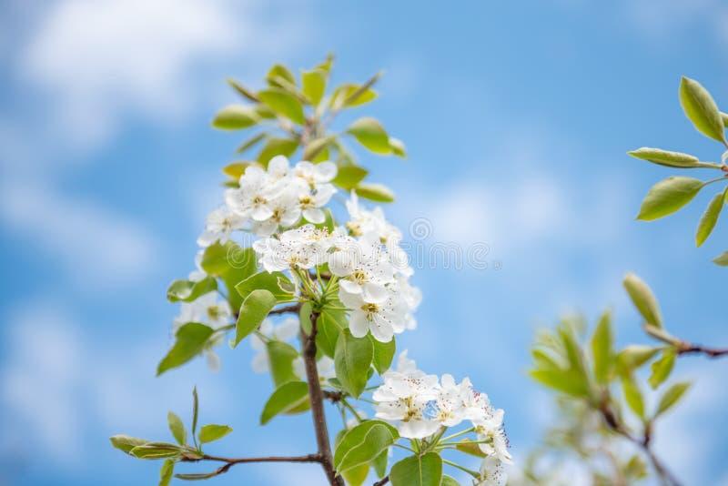 Άσπρα λουλούδια appletree με την κίτρινη δύναμη και κίτρινα sepals στοκ εικόνες