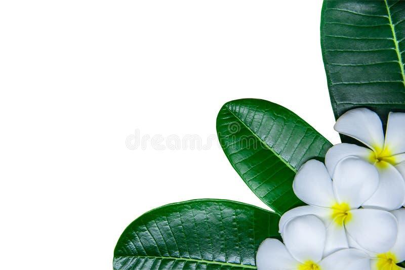 Άσπρα λουλούδια plumeria και πράσινα φύλλα στο άσπρο υπόβαθρο με στοκ εικόνες