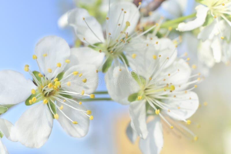 Άσπρα μακρο άνθη άνοιξη στοκ εικόνες