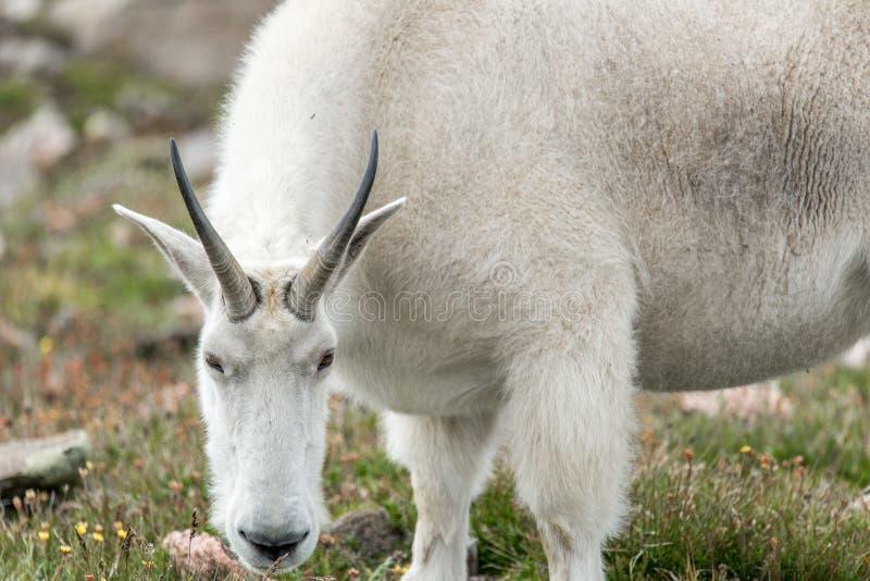 Άσπρα μεγάλα πρόβατα κέρατων - δύσκολη αίγα βουνών στοκ φωτογραφία