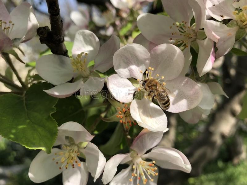 Άσπρα μικρά λουλούδια του ανθίζοντας δέντρου μηλιάς την άνοιξη με μια πετώντας μέλισσα στοκ φωτογραφίες με δικαίωμα ελεύθερης χρήσης