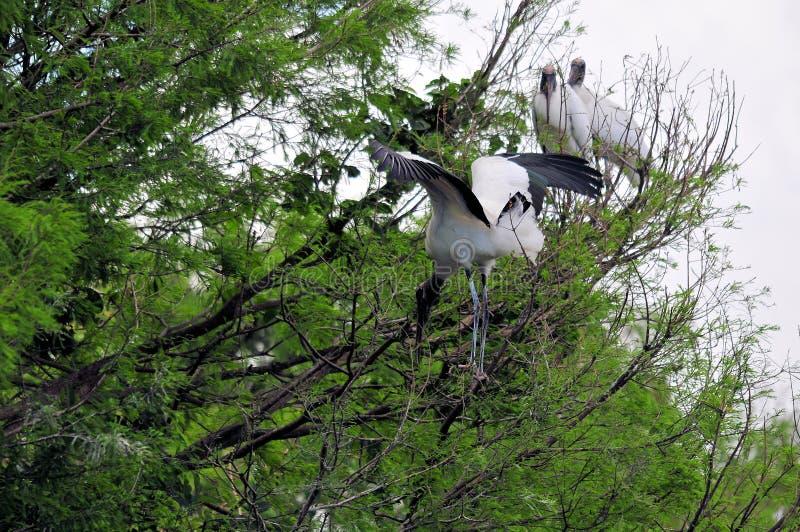 Άσπρα ξύλινα πουλιά πελαργών στο δέντρο στους υγρότοπους στοκ εικόνες
