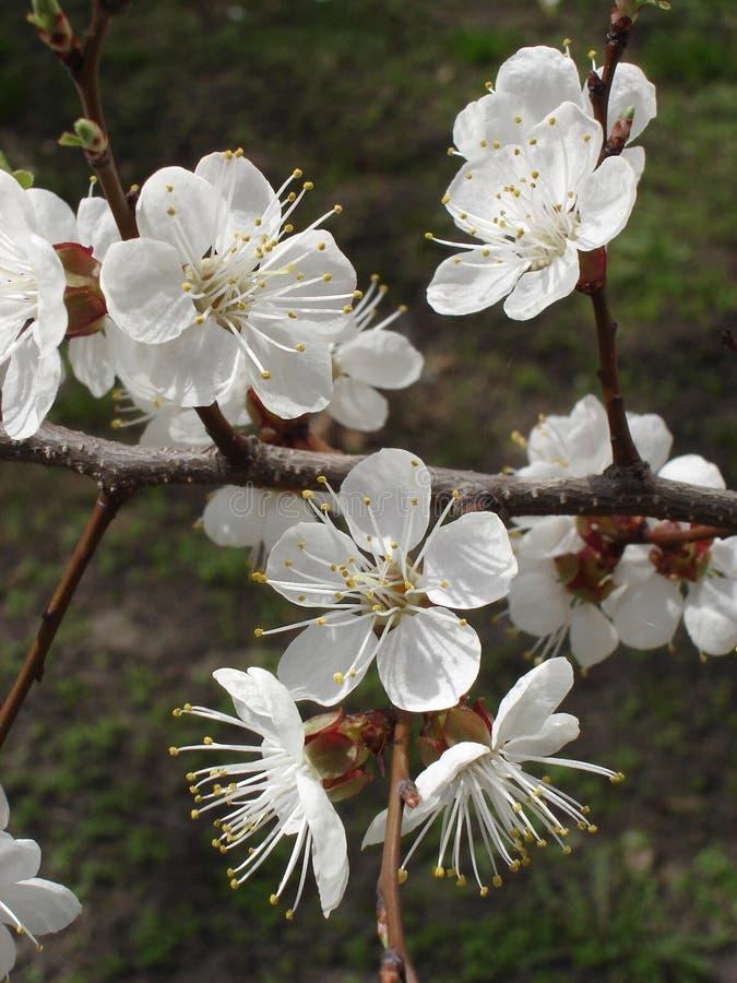 Άσπρα λουλούδια βερίκοκων σε έναν κλάδο δέντρων στοκ φωτογραφία με δικαίωμα ελεύθερης χρήσης