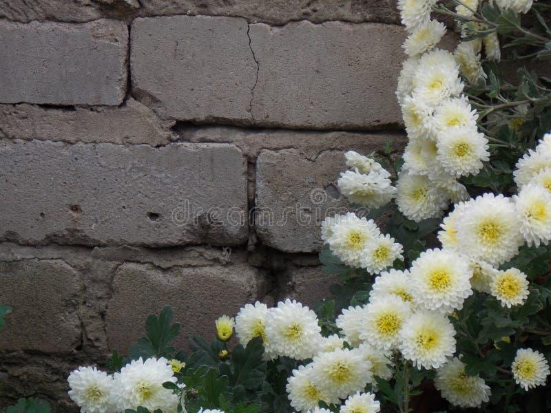 Άσπρα λουλούδια ενάντια στον τοίχο στοκ φωτογραφία