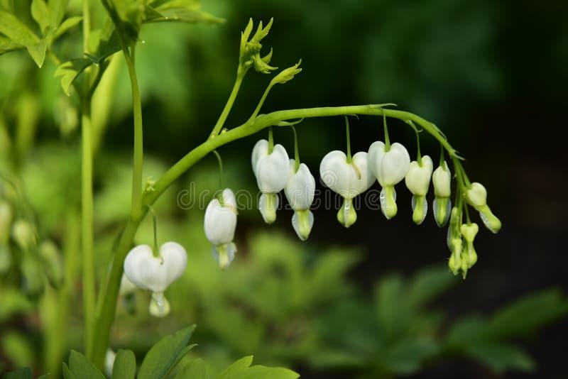 Άσπρα λουλούδια καρδιών στοκ φωτογραφίες με δικαίωμα ελεύθερης χρήσης