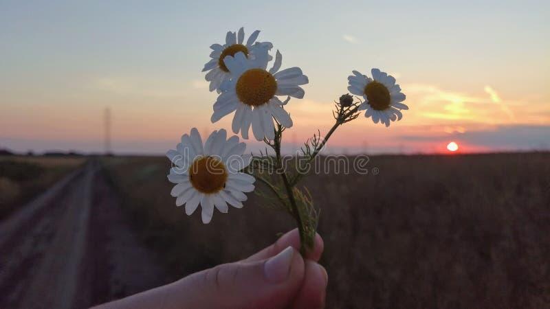 Άσπρα λουλούδια μαργαριτών στο ηλιοβασίλεμα βραδιού στοκ φωτογραφία με δικαίωμα ελεύθερης χρήσης