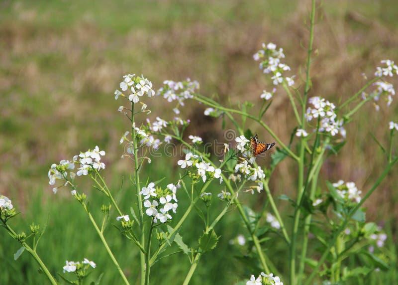 Άσπρα λουλούδια με μια πεταλούδα στοκ φωτογραφίες με δικαίωμα ελεύθερης χρήσης