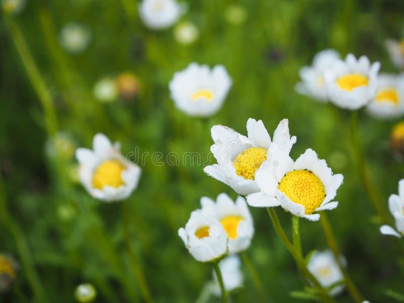 Άσπρα λουλούδια στον κήπο στοκ εικόνα με δικαίωμα ελεύθερης χρήσης