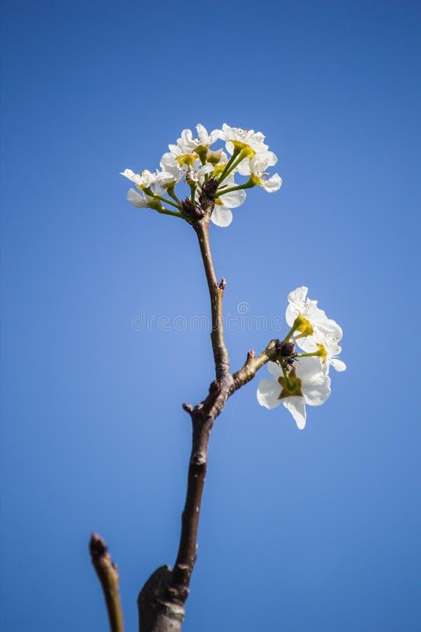 Άσπρα λουλούδια στο κλίμα μπλε ουρανού στοκ εικόνες