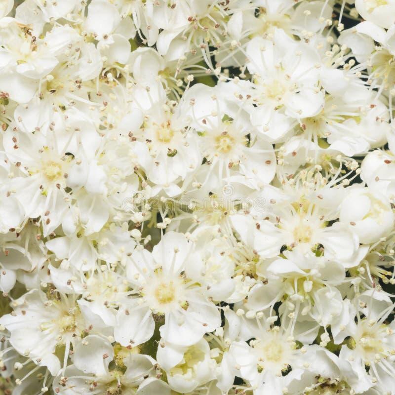 Άσπρα λουλούδια του ανθίζοντας δέντρου σορβιών, aucuparia sorbus, υπόβαθρο κινηματογραφήσεων σε πρώτο πλάνο, εκλεκτική εστίαση, ρ στοκ εικόνες με δικαίωμα ελεύθερης χρήσης
