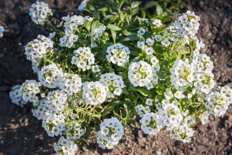 Άσπρα λουλούδια του maritima Lobularia στοκ εικόνα
