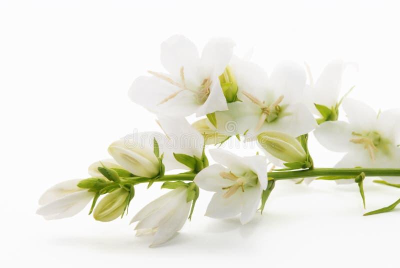 Άσπρα λουλούδια Campanula που απομονώνεται στο άσπρο υπόβαθρο στοκ φωτογραφίες με δικαίωμα ελεύθερης χρήσης