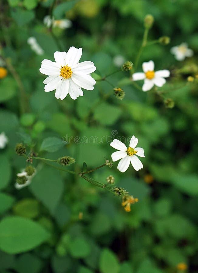 Άσπρα λουλούδια Sticktight στοκ εικόνες με δικαίωμα ελεύθερης χρήσης
