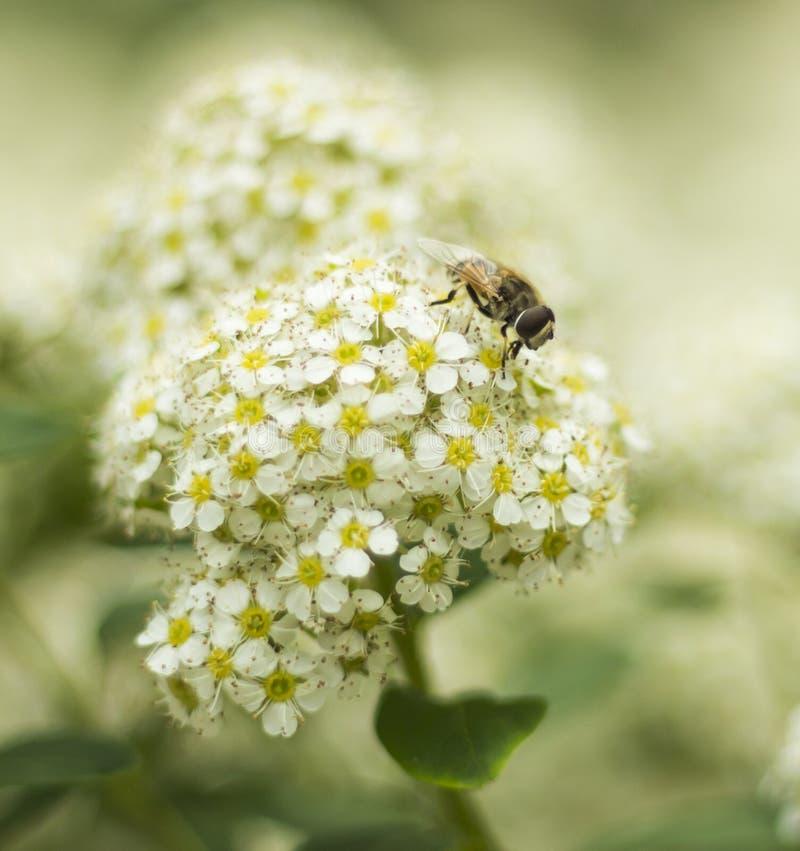 Άσπρα λουλούδια ZhenZhuHua στοκ εικόνες με δικαίωμα ελεύθερης χρήσης