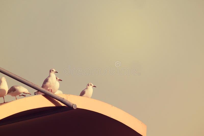 Άσπρα πουλιά περιστεριών που κάθονται στη στέγη της οικοδόμησης που θέτει τη κάμερα στοκ εικόνες με δικαίωμα ελεύθερης χρήσης
