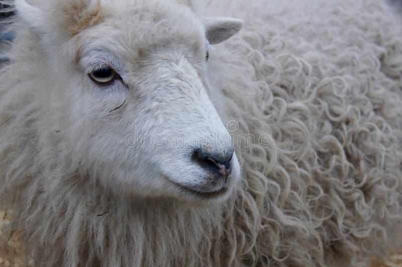 Άσπρα πρόβατα με ένα χειμερινό παλτό στοκ φωτογραφίες