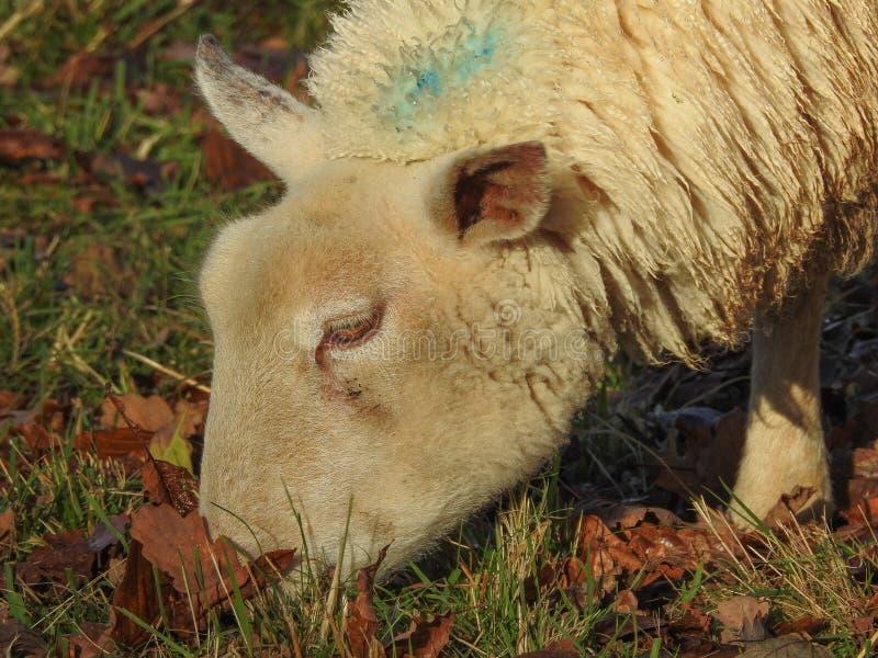 Άσπρα πρόβατα που τρώνε τη χλόη σε έναν τομέα στοκ φωτογραφία