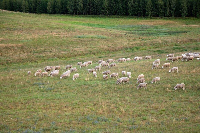 Άσπρα πρόβατα που τρώνε τη χλόη στον τομέα από το δασικό εσωτερικό αρνί υπαίθρια στην κοιλάδα Ζωικό αγρόκτημα Farmer που αυξάνετα στοκ φωτογραφία με δικαίωμα ελεύθερης χρήσης
