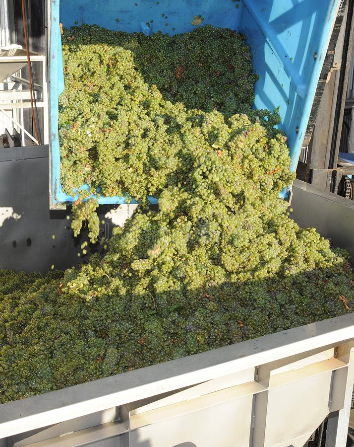Άσπρα σταφύλια κρασιού που συντρίβονται στοκ εικόνες