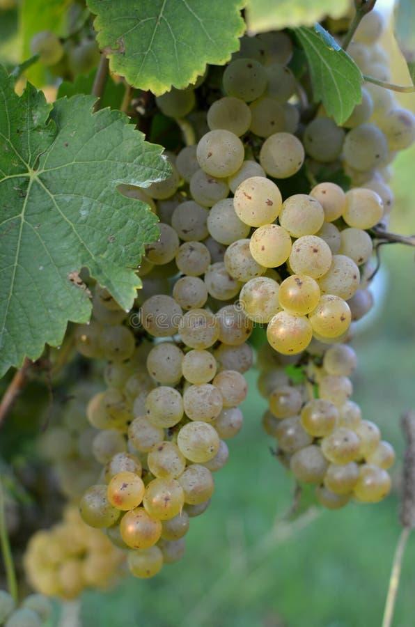 Άσπρα σταφύλια σε έναν αμπελώνα Οικογενειακό αγρόκτημα Ώριμο κρασί σταφυλιών Νωποί καρποί Κελάρια κρασιού στοκ φωτογραφίες