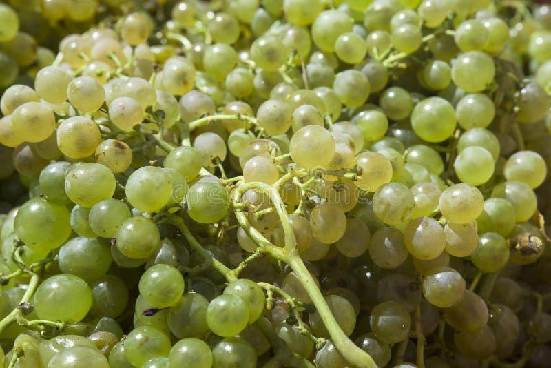 Άσπρα σταφύλια για να κάνει το κρασί στοκ εικόνες
