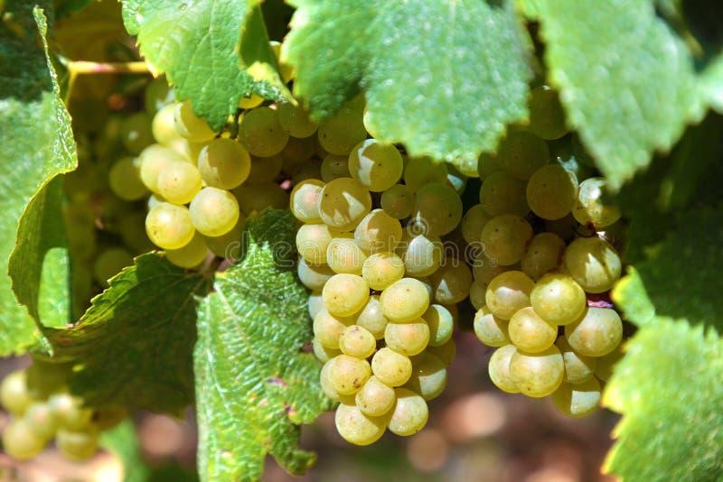 Άσπρα σταφύλια κρασιού που αυξάνονται σε έναν αμπελώνα, Γαλλία στοκ φωτογραφίες με δικαίωμα ελεύθερης χρήσης