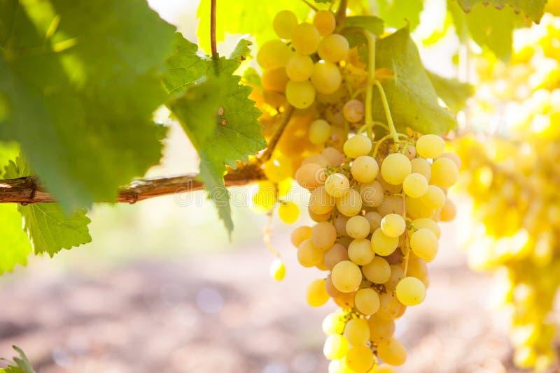 Άσπρα σταφύλια κρασιού στον αμπελώνα μια ηλιόλουστη ημέρα στοκ φωτογραφίες