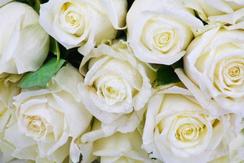 Άσπρα τριαντάφυλλα στις απελευθερώσεις δροσιάς στοκ φωτογραφίες