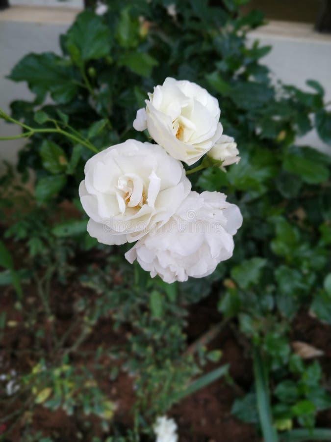 Άσπρα τριαντάφυλλα στοκ φωτογραφία με δικαίωμα ελεύθερης χρήσης