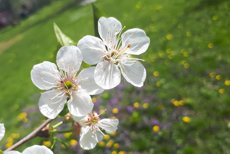 Άσπρα φρέσκα μικρά όμορφα λουλούδια στον κλάδο ενός δέντρου κερασιών στοκ φωτογραφία με δικαίωμα ελεύθερης χρήσης