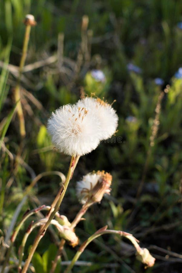 Άσπρα χνουδωτά λουλούδια της ώριμης κινηματογράφησης σε πρώτο πλάνο πικραλίδων σε ένα θολωμένο υπόβαθρο στοκ εικόνες