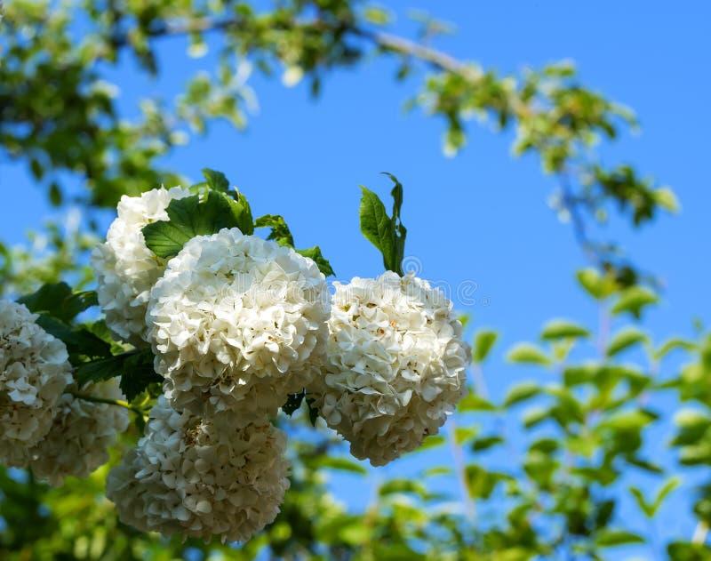 Άσπρα χνουδωτά λουλούδια στο φύλλωμα ενάντια στο μπλε στοκ εικόνα με δικαίωμα ελεύθερης χρήσης
