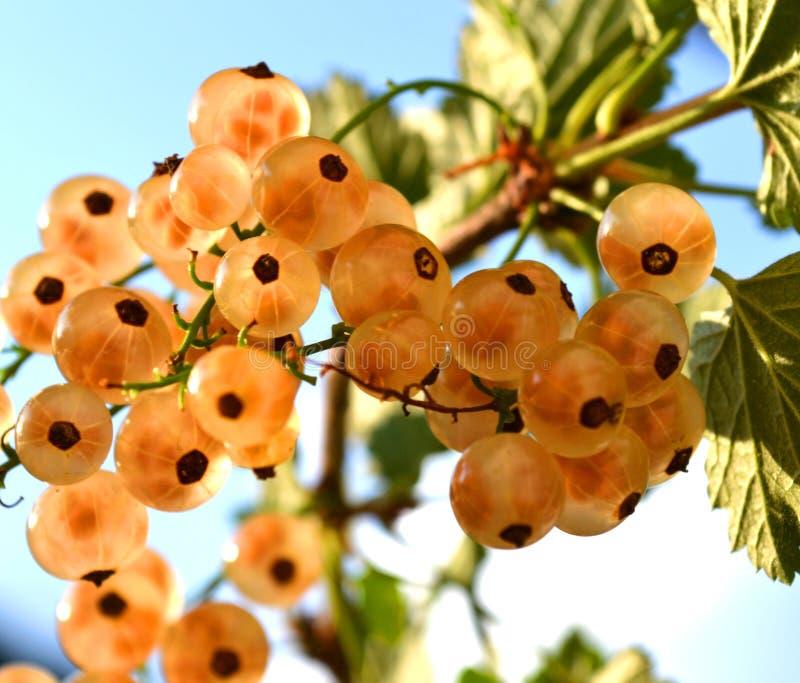 Άσπρα ώριμα φρούτα σταφίδων στη διαφανή ανάπτυξη άποψης στον κλάδο που φωτίζεται λαμπρά στοκ φωτογραφία