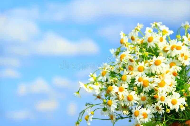 Άσπρα chamomiles στην ανθοδέσμη στο υπόβαθρο μπλε ουρανού Λουλούδια Chamomile στοκ φωτογραφίες με δικαίωμα ελεύθερης χρήσης