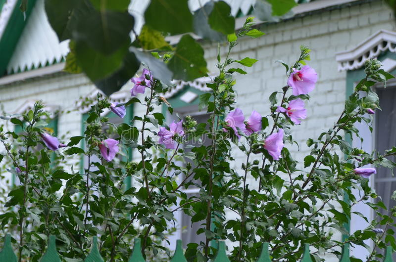 Άσπρα hibiscus στοκ φωτογραφία